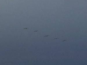 Pelicans at Dusk