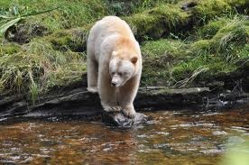 Spirit Bear -- photo credit bcrainforest.com