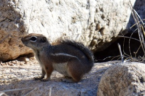 Chipmunks are posers.