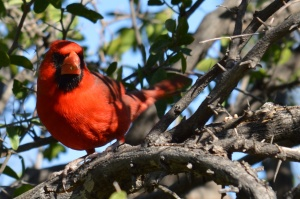 Giant Cardinal (contrary to popular myth, not everything is bigger in Texas)