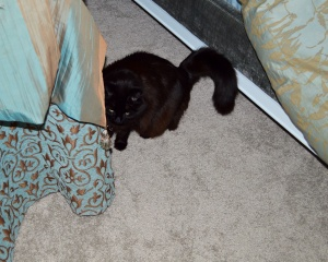 Sally, hiding out in Mom's room. Maybe she'll be brave and allow a 3-black-cat photo shoot during year 2.