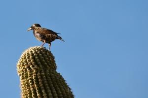 Bird on Saguaro