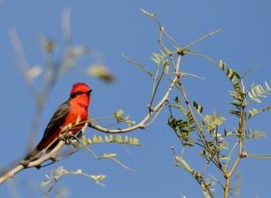 Vermilion Flycatcher--Tucson, AZ
