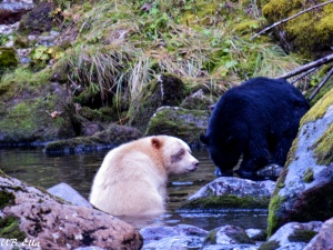Spirit Bear & Black Bear Great Bear Rainforest