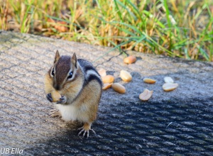 Feeding peanuts to this chipmunk