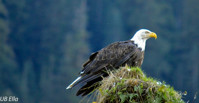 Bald Eagle--Great Bear Rainforest