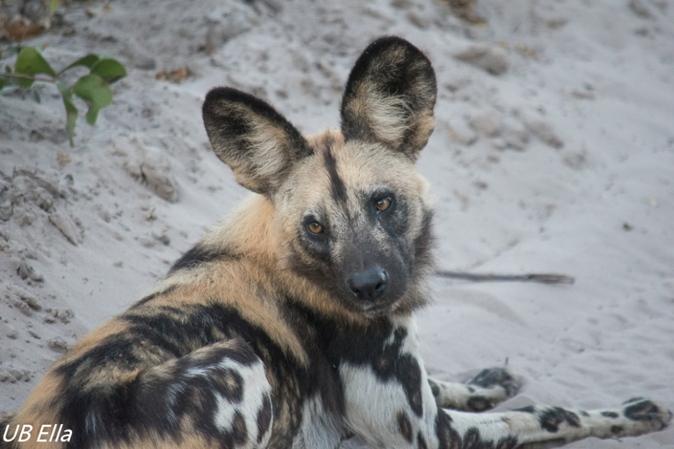 African Wild Dog Close