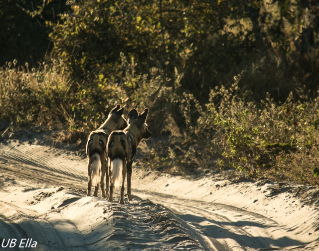 African Wild Dogs on Morning Patrol